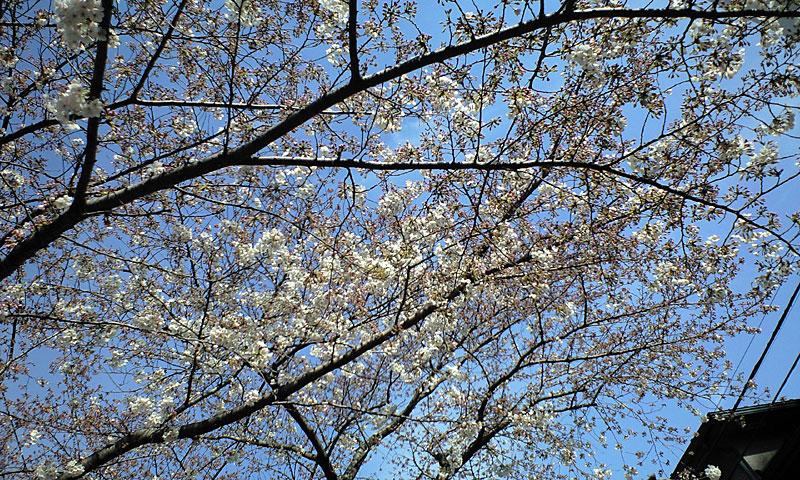 自由が丘、桜、お花見