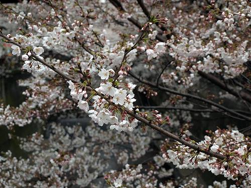 目黒川の桜 2010年3月31日時点。