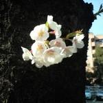 お花見目黒川2009