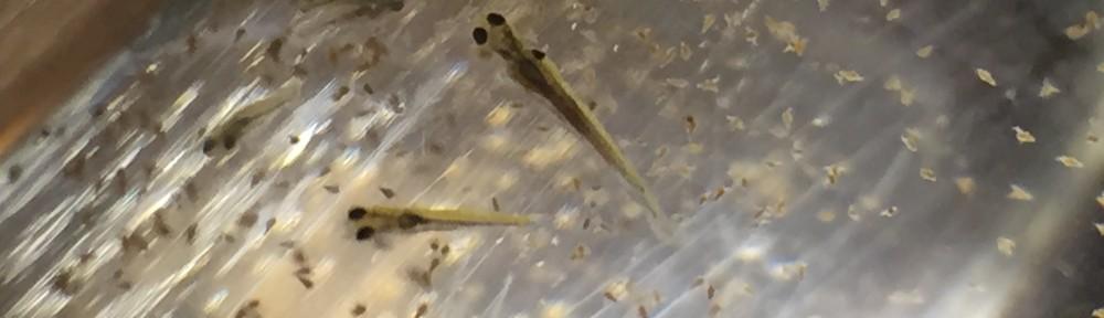 金魚が産卵して孵化したのでブラインシュリンプ投入!